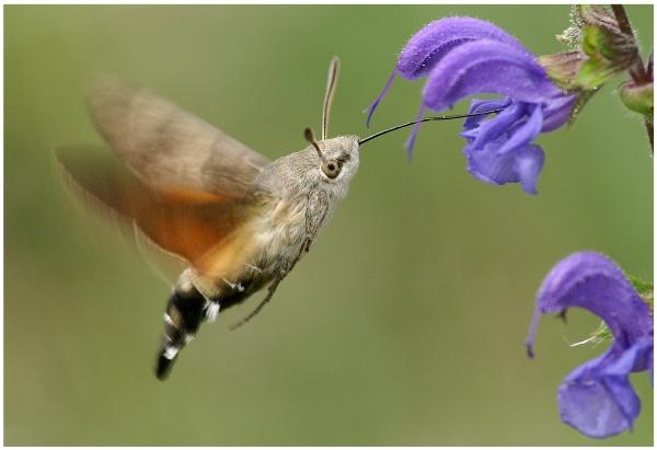 insekt mit rüssel